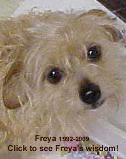 Freya, our little Norfolk Terrier, Rest in Peace